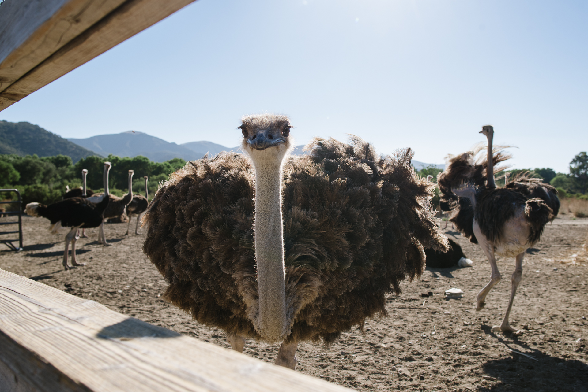 Tiffany Luong photographs funny looking ostrich at Ostrichland for Westways